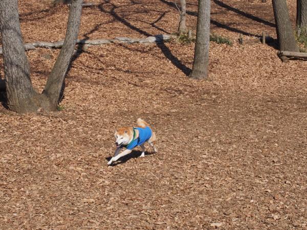 ドッグランを走り回る柴犬