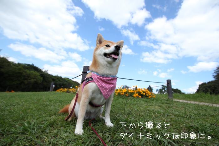 ローアングルから撮った柴犬の写真@公園
