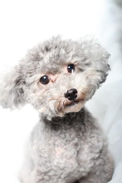 シルバー 首をかしげる犬