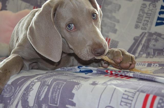 ガムを食べる犬