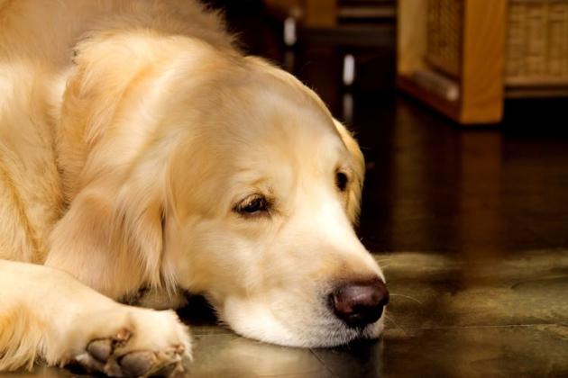 老犬が寝ている