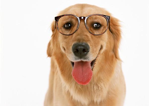 メガネの大型犬