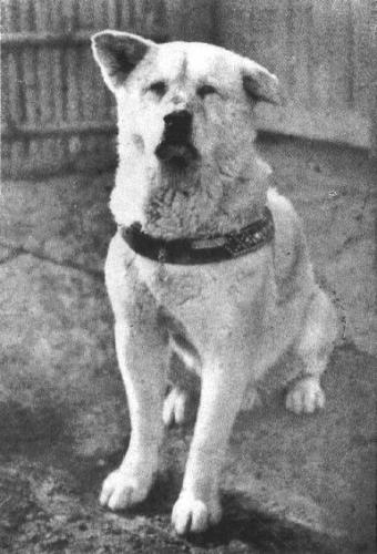 ##秋田犬##