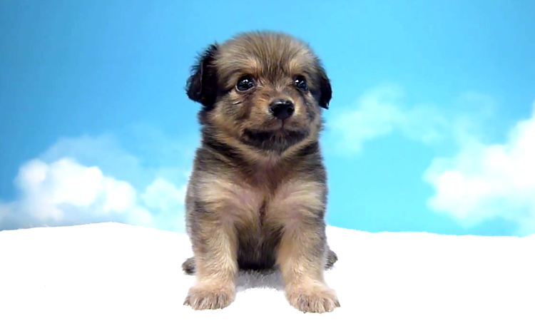 子犬のポメックス