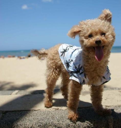愛犬とハワイへ移住