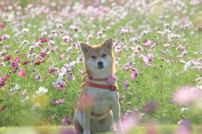 コスモスの前でこちらを見ている柴犬