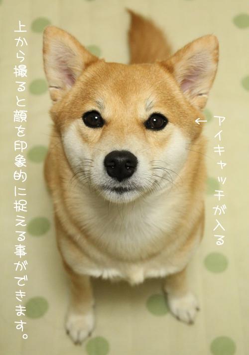 上から撮った柴犬の写真@室内