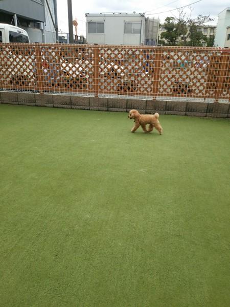 青い芝生を一人で歩いてるトイプードルの画像