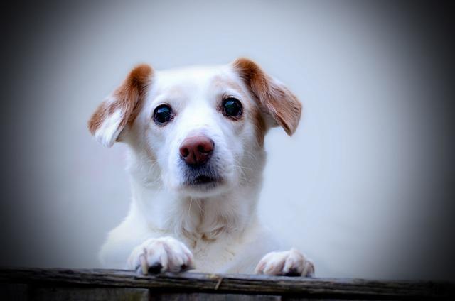 犬の甲状腺機能低下症について