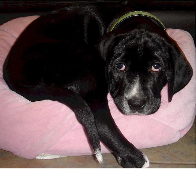家のベッドにいる犬
