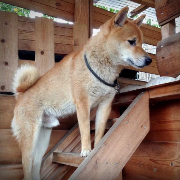 階段に柴犬