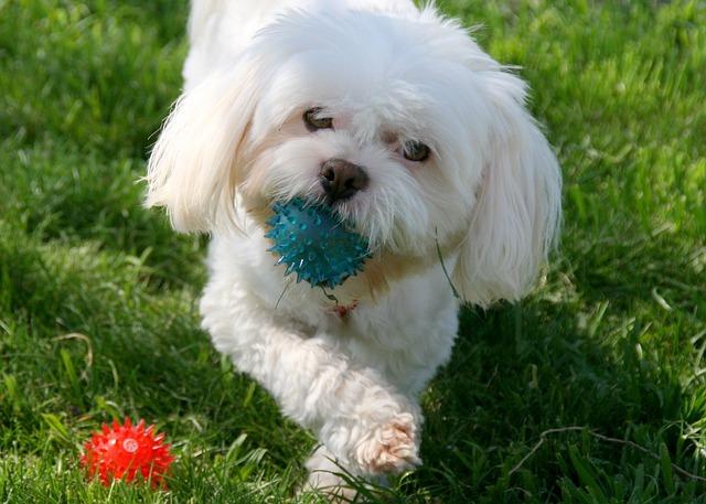 ボールを放さない犬