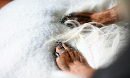 犬の足 白いタオルの上