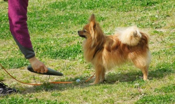 フリスビーを見ている犬