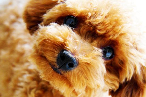 トイプーの仔犬