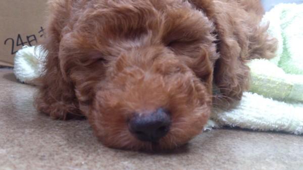 パピーで寝ている