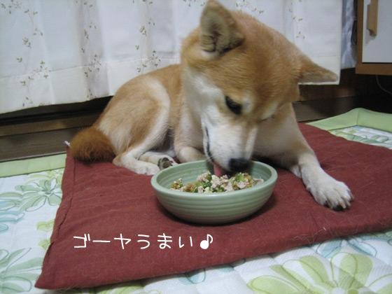 ゴーヤを食べる柴犬