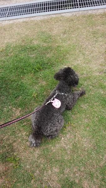 草の上で伏せる犬