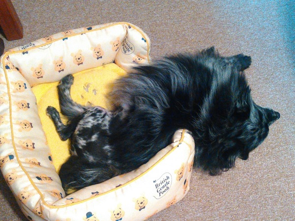 白黒の犬が黄色のドッグベッドからはみ出ている
