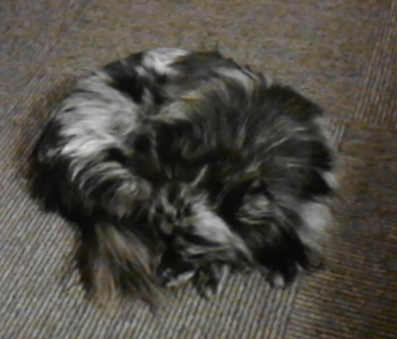 尻尾を巻いて寝ている犬