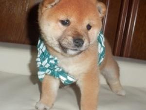 風呂敷を巻いた茶色の柴犬の子犬