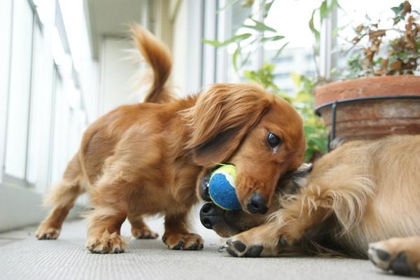 ボールを取り合う2匹