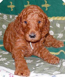 スタンダードプードルの子犬1頭