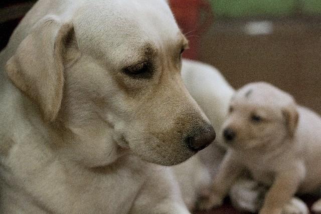 ラブラドール 親子 母犬右 子犬左