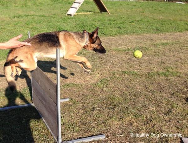 訓練場の犬