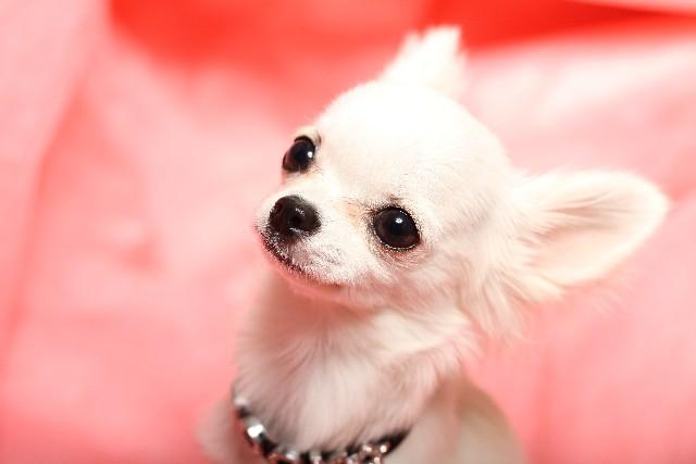 小型犬人気上位のチワワ