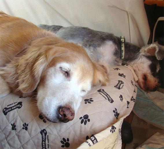 ソファの上で寝ているゴールデンレトリバーとミニチュアシュナウザー