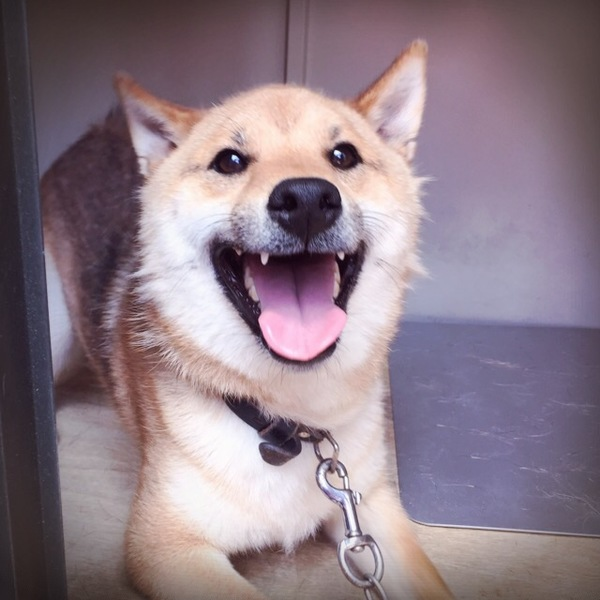 犬小屋の柴犬