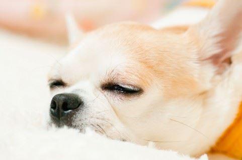チワワ安心して眠っている