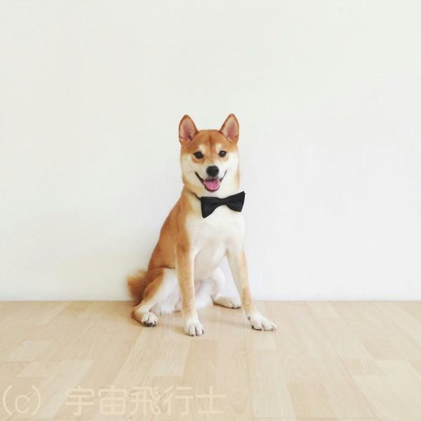 お洒落する柴犬