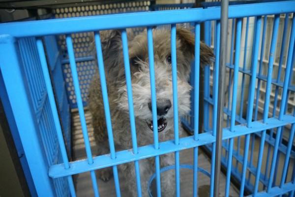 保健所の檻の中の犬白テリア系