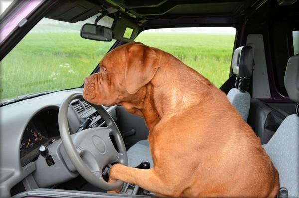 運転席の大型犬