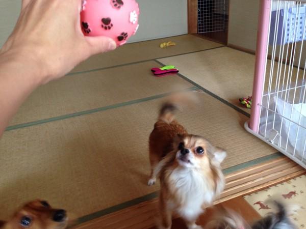 チワワがボールをみつめてる