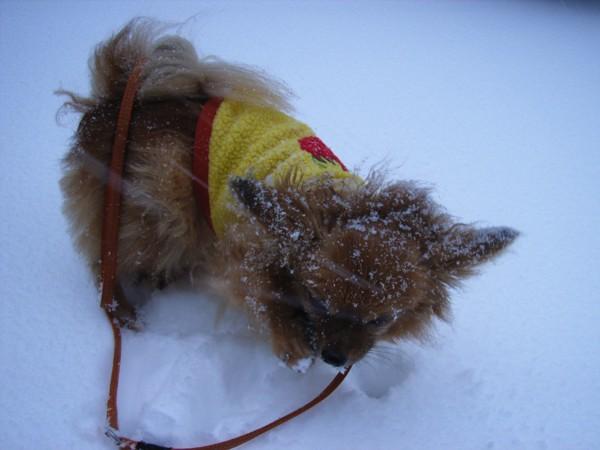 雪の中の黄色いセーター