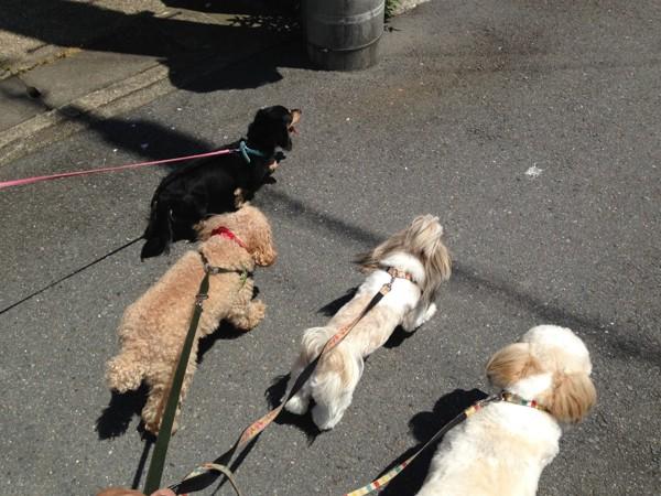 ワンコ4匹 散歩中