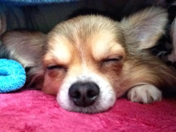 チワワがアップで寝ている