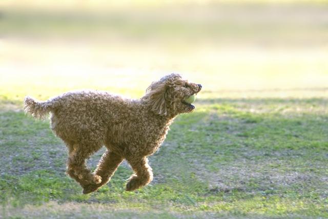 公園の芝生 走っているプードル レッド