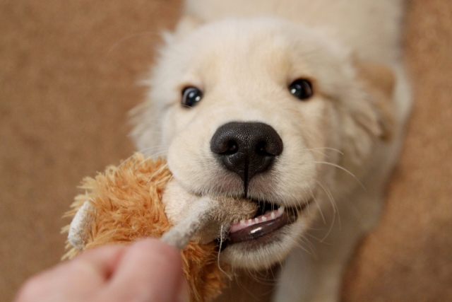 ロープを引っ張る仔犬
