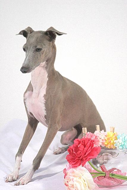 小型犬人気上位のイタリアン・グレーハウンド