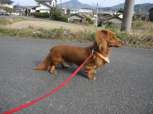 散歩中のダックス