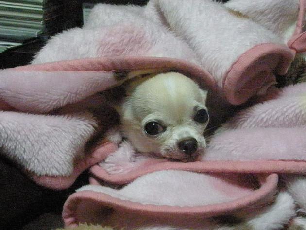 毛布にくるまるチワワ