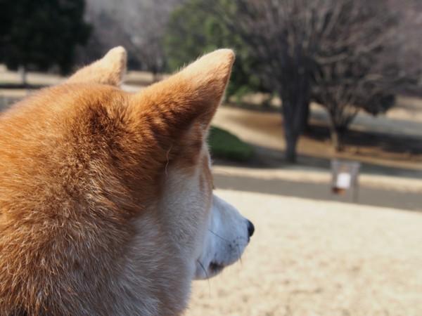 ボーっと景色を眺めている柴犬