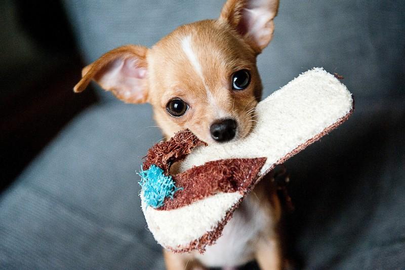 おもちゃをくわえたチワワ仔犬