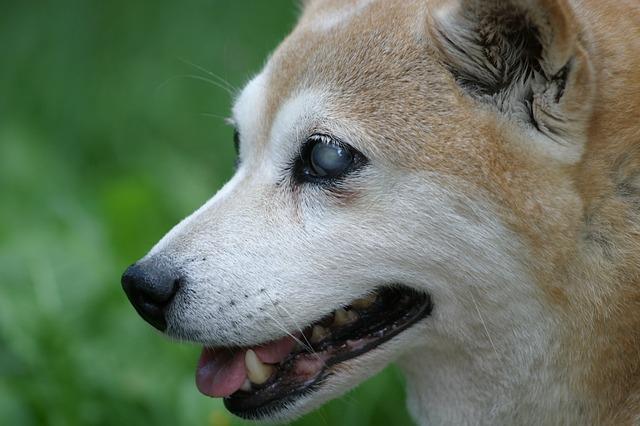 横顔 柴犬