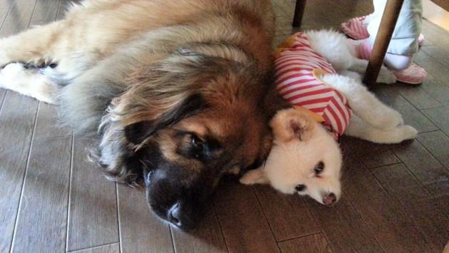 超大型犬と小型犬の同居