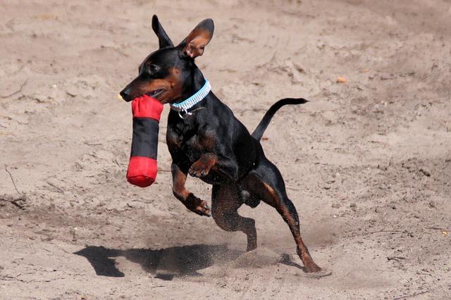 小型犬人気上位のミニチュア・ピンシャー